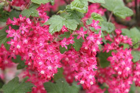 Flowering Garden Shrubs Flowering Currant Ribes Flowering Currant 1 Huntersgardencentre