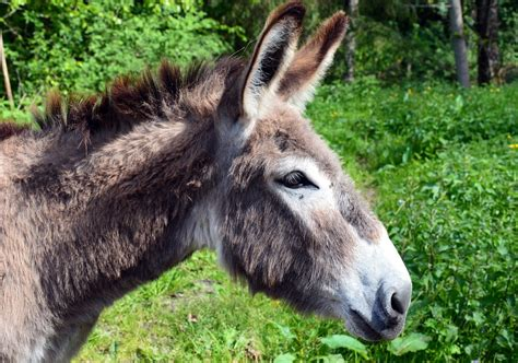 burro animal foto gratis burro animal animais dom 233 sticos imagem