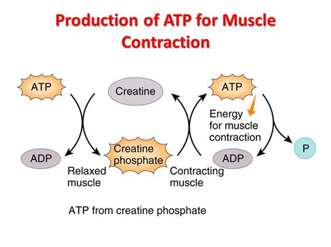 creatine phosphate functions in the cell by histology of ppt
