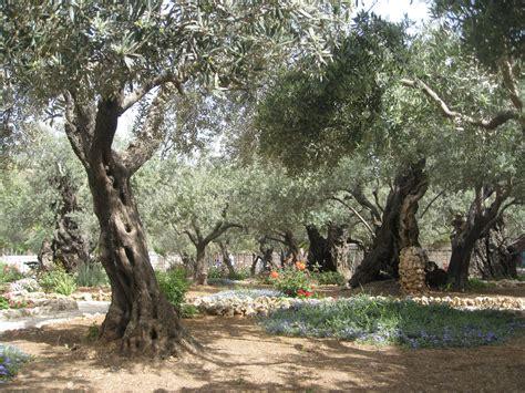 Garden Of Gethsemane Images by Garden Of Gethsemane Olive Trees And Garden Byu New