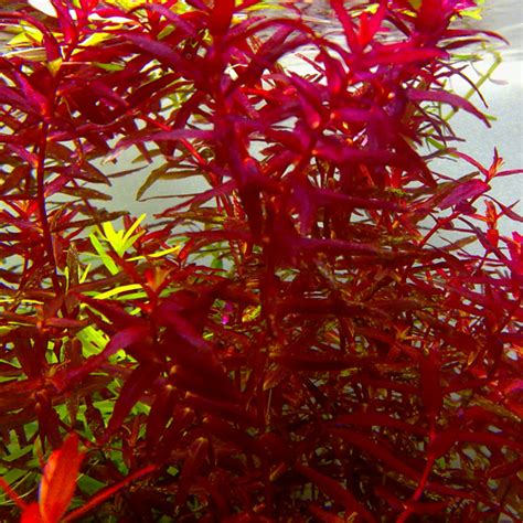 Rotala Butterfly rotala mini butterfly aquatic mag