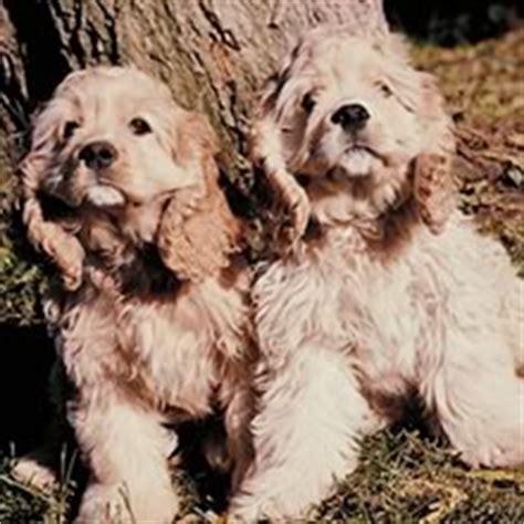 puppies for sale in marquette mi miniature cocker spaniel puppies for sale in michigan