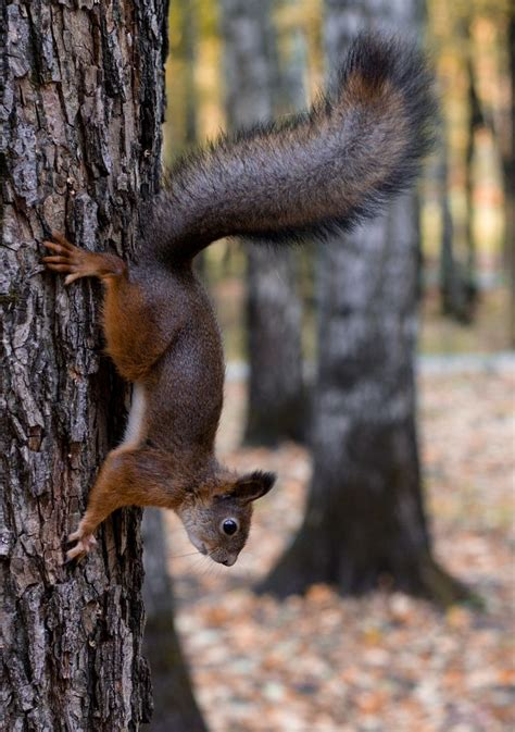 let me see you do the squirrel 249 best squirrels images on pinterest squirrels wild