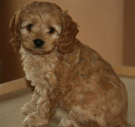 cockapoo puppies price puppies for sale cockapoo cockapoos f category in manawa wisconsin