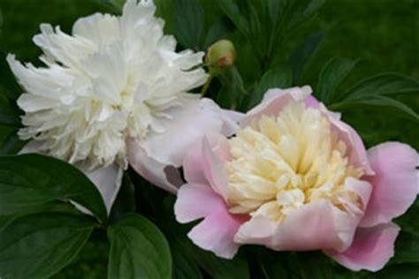 Blume Tränendes Herz 5223 by Ebner S Homepage Baierbrunn