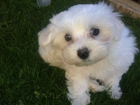 puppy for sale maltese puppies for sale liverpool merseyside pets4homes