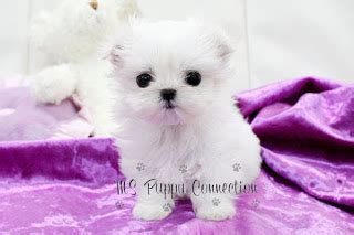 maltese puppies for sale ny new york teacup puppies for sale maltese puppies new york