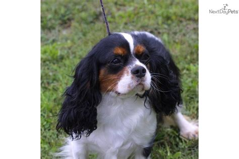 spaniel puppies for adoption cavalier king charles spaniel puppies adopt a cavalier king charles breeds picture