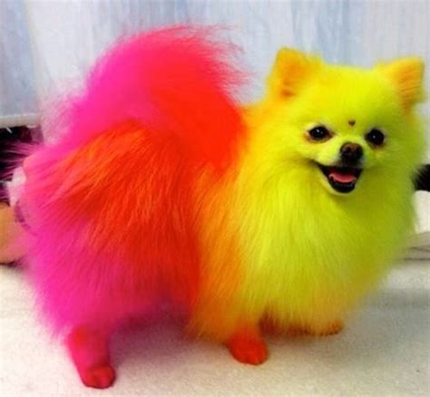 pomeranian costumes i want a pikachu pomeranian mix pet costumes