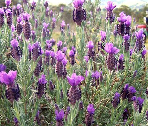 lavender mosquito repellent gardens pinterest