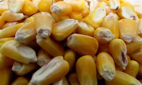 whole grain yellow corn whole yellow organic corn kitchen kneads