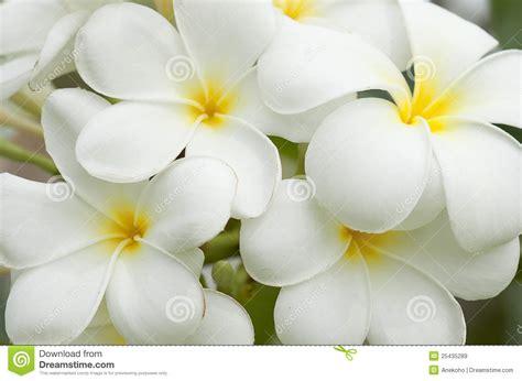 imagenes de flores libres flores blancas y amarillas del frangipani im 225 genes de