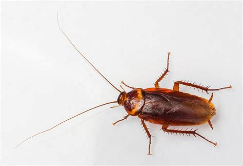Insektisida Asam Borat cara membasmi kecoa secara alami dan uh penjaga rumah
