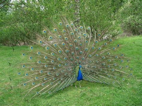 Peacock L by Fichier Paon Bleu Faisant La Roue Peacock Jpg Wikip 233 Dia