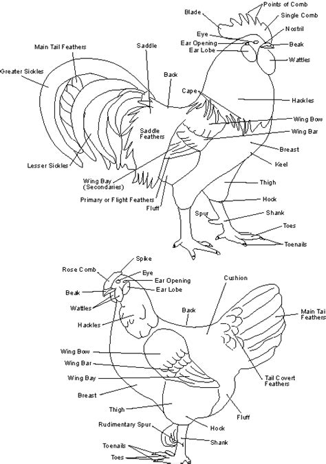 chicken diagram image detail for diagram chart layout site chicken cuts