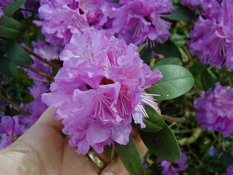 pjm rhododendron plants for 4 99 each hollyhillnurseries