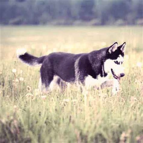 incontinence in dogs incontinence in dogs urinary problems petcarerx