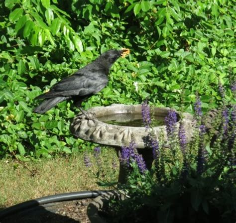getting rid of crows in backyard hometalk crow that visits our bird bath killing backyard