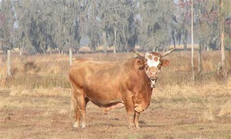 wife breeding bench cattle
