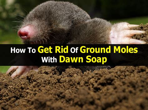 how to get rid of moles in the backyard 28 images how to get rid of moles naturally get rid