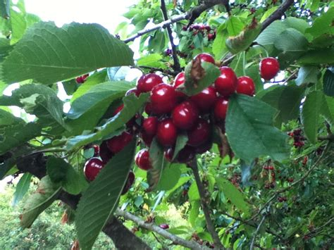 cherry tree 4 in 1 burlat cherry tree variety great for smaller gardens 4 5ft