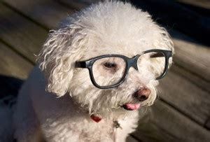 ophthalmologist for dogs eye care for dogs all about bichon frise dogs
