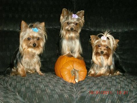 information about yorkie puppies yorkie puppies information