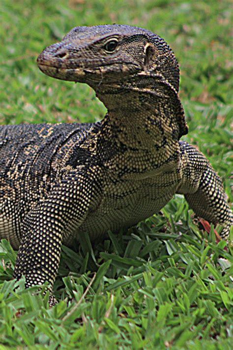 asian water monitor lizard varanus salvator owlcation