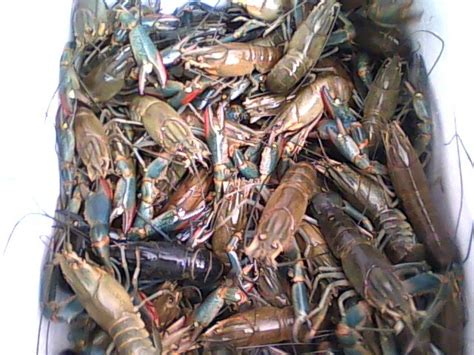 Bibit Udang Air Tawar warung lobster jual lobster jual bibit lobster kami