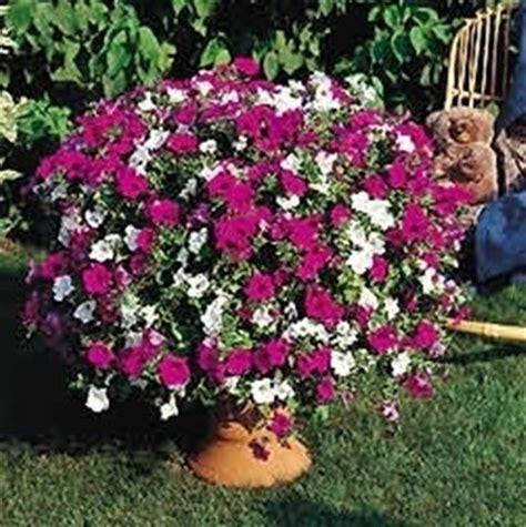surfinia fiore petunia petunia piante annuali come coltivare le petunie