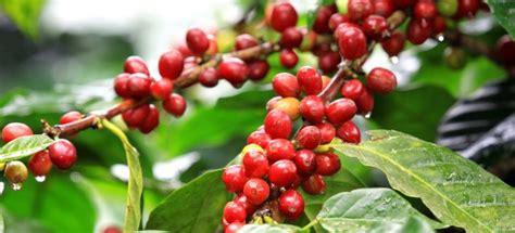 Liberica Coffee types of coffee types coffee