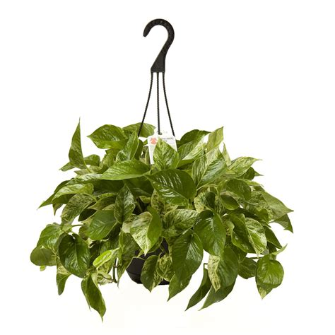 hanging plant shop exotic angel plants rope hoya l3927hp at lowes com