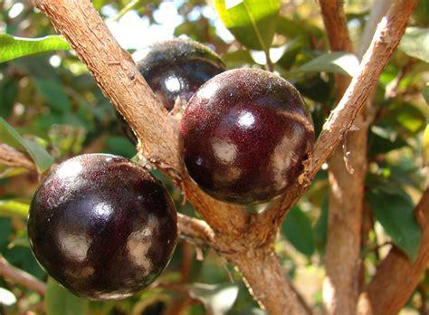 jabuticaba fruit tree images