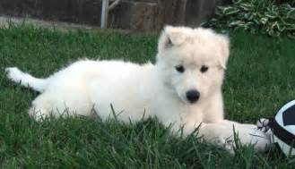 what you need to before getting a husky lab mix