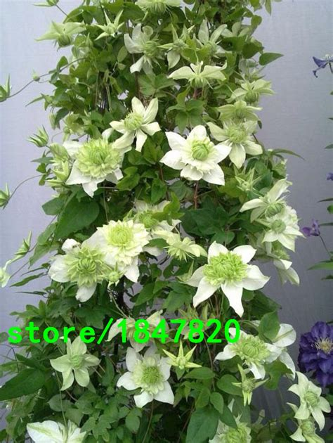florida climbing plants clematis seeds clematis montana vine flowers plant seed