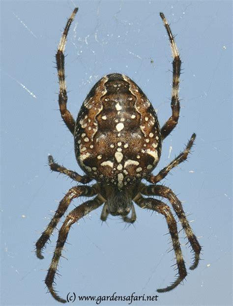 Garden Spider How Many Gardensafari Common European Garden Spider With Many