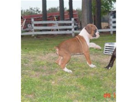 boxer puppies for sale in arkansas boxer puppies in arkansas