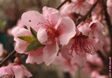 fiori rosa fiori di pesco testo fiori rosa fiori di pesco fiori rosa fiori di