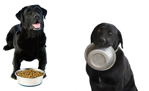 labrador puppy food this ate s food for six days would you eat your labrador s food