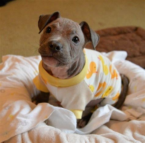 Best Pit The 10 Best Pit Bull Stories From 2015 Huffpost