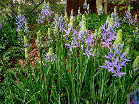 camassia leichtlinii caerulea carolyn s shade gardens