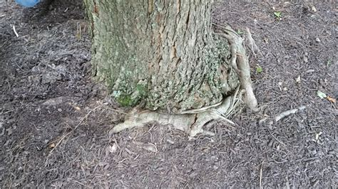 maple tree roots surface girdling roots the silent tree killer arbor rangers
