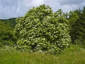 sambucus nigra wikipedia