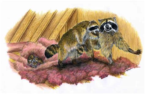 how to get rid of raccoons in my backyard how to get rid of raccoon in ceiling how to get rid of