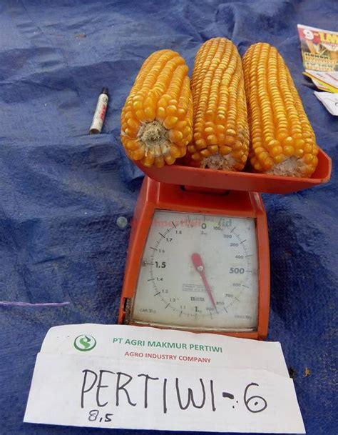 Bibit Jagung Pertiwi 6 jagung hibrida pertiwi 6 mulai dikenalkan di aceh benih