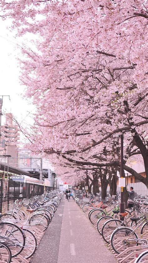 654 cherry tree road cherry blossom japan places to go cherry blossom japan cherry blossoms and cherries