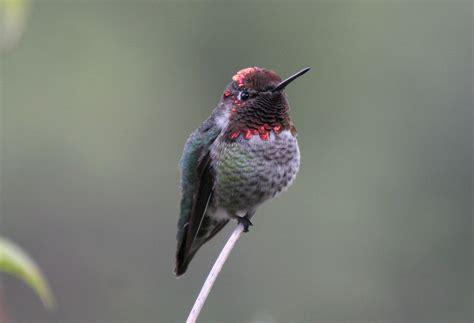 anna s hummingbird calypte anna