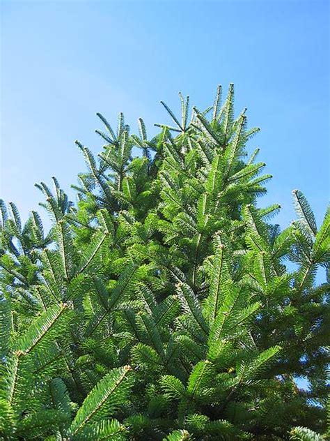 turkish fir tree true firs trees of reed