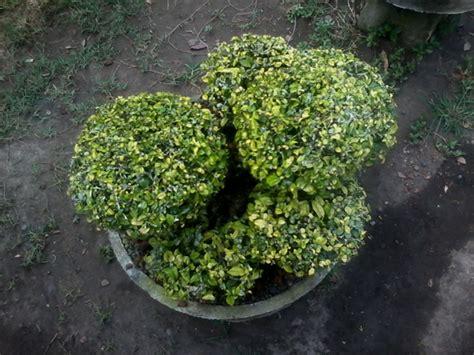 Unique Kitchen Decor Ideas Bonsai Serut Tree Ideas