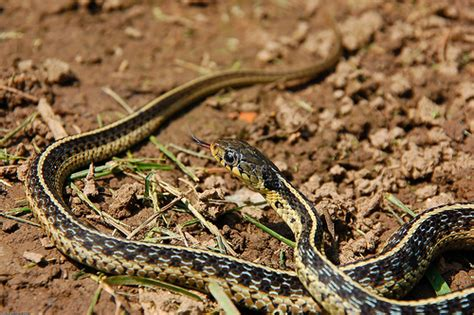 Gardener Snake by Garden Snake Flickr Photo